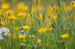 Spring Grass with Buttercups (rexlindis) Tags: flower grass spring buttercup ranunculus