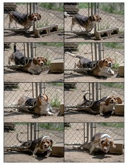 The Great Escape (Paguma / Darren) Tags: dog beagle escape