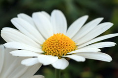 marguerite1 (brianfagan) Tags: summer white flower colour macro yellow canon garden eos pretty 7d marguerite brianfagan