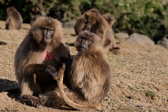 Gelada Baboon (Theropithecus gelada) (doritbz) Tags: nature animals groom wildlife grooming ethiopia mammals et mammalia primates gelada geladababoon oldworldmonkeys theropithecusgelada amhararegion simiennationalpark