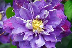 Clematis (G Bradley2013) Tags: flowers plant garden bush nikon purple derbyshire clematis coloured swanwick ambervalley d80 elementsorganizer