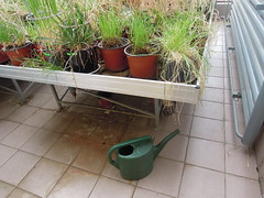 greenhouse (loliumlilium) Tags: greenhouse wheatgrass wateringpot