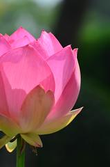 桃食べたい。 (e_haya) Tags: flower 蓮 nikond7000