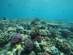 (coral reef) (Paul_ (shin.ogata)) Tags: diving okinawa  ep1   minnais