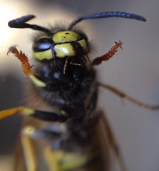 "Wasp • <a style=""font-size:0.8em;"" href=""http://www.flickr.com/photos/57024565@N00/9528586781/"" target=""_blank"">View on Flickr</a>"