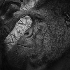 Thinking (Elizabeth Haslam) Tags: zoo monkey utah gorilla human saltlakecity thinking orangutan ape protrait endangered primate apes contemplating hoglezoo lowlandgorilla 2013 apeportrait notquitehuman elizabethhaslam elizabethhaslamphotograhycom animalportairt