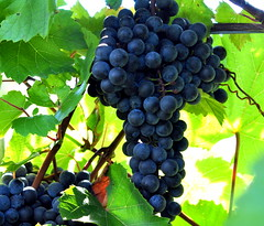 grapes (tonnyc) Tags: fruit vineyard purple vine grapes ripe