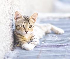 Lounging Around (PhotoBugggg) Tags: blue summer cute cat eyes nikon feline lounge kitty 85mm samyang