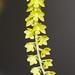 Dendrochilum filiforme – Gil Ho