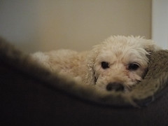 Ruffy, at Fifteen (tomtomklub) Tags: light sleeping rescue dog pet white house animal fur bed furry soft interior small best older ambient inside cocker adopted ever aging ruffy cockerpoo
