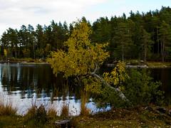 Hanging over the lake (Explore) (Vidar Ringstad, Norway) Tags: autumn trees sky lake nature water norway canon eos norge natur norwegen himmel explore 7d vann hst trr innsj natureshot explored naturbilde aurskog lierfoss aurskoghland viksjen vikodden nordremangen