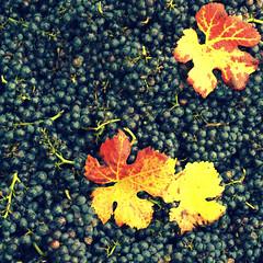 Schwarzriesling (monika keller) Tags: vineyard vine weinberg