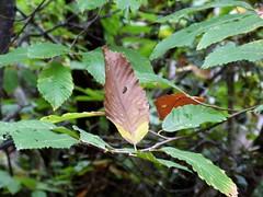 Singulire (brigeham34) Tags: automne rando octobre feuille languedocroussillon hrault colombiressurorb chtaignier gorgesdecolombires virechemindesfleysses