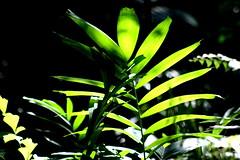 Darwin2 068 (harry de haan) Tags: green nt australia darwin ferns darwin2