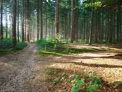 Zon in het dennenbos (ednl) Tags: autumn oktober fall netherlands forest outdoors october herfst nederland sunny hike bos buiten wandeling bridlepath baarn najaar zonnig provincieutrecht utrechtprovince 2013 ruiterpad