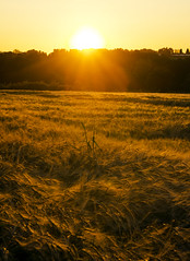 Golden wheat (Harleycy3) Tags: sunset golden wheat warmth crops contrejourlighting
