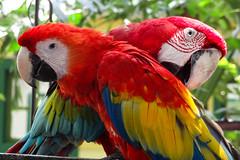 cartagena - colmbia (Bruno Farias) Tags: southamerica parrot cartagena arara americadosul colomba everrocks obrunofarias