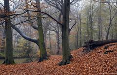 Wet cold autumn. (pfw.schellingerhout) Tags: autumn netherland wassenaar forests
