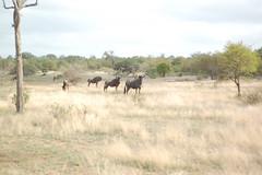 DSC_9637 (m_kabza) Tags: southafrica safari timbavati tandatula