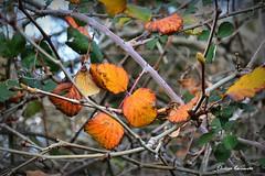 Winter colors in Crete (Eleanna Kounoupa) Tags: winter nature colors leaves greece crete rethymnon spili