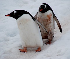 Get a move on, I need a bath (ericy202) Tags: snow penguin gentoo december antarctica 2006 wildpenguin