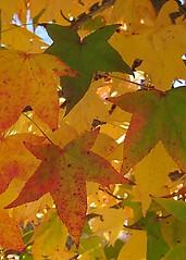 fall leaves (judee12) Tags: arizona plants nature leaves