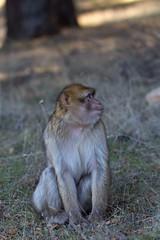 Barbary macaque 1 (Ryoushi no syokubutsuen) Tags: art sahara nature landscape desert arabic berber marocco marrakech magrib almagrib medrassa