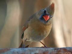 That's Ms Angry Bird to you! (Kaptured by Kala) Tags: bird nature funny cardinal fierce humor angry kala hostile femalecardinal angrybird femalenortherncardinal kalaking kapturedbykala