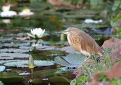 IMG_0888 squacco heron (Ardeola ralloides) (steve.ray50) Tags: gambia 2014 kairabahotel