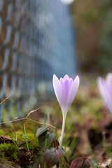 Krokus  / crocus (7) (Ellenore56) Tags: light inspiration flower color colour detail reflection nature beautiful beauty wonderful garden botanical licht photo flora foto blossom gorgeous magic natur perspective adorable grand crocus explore bloom belle imagination moment february charming blume blte magical farbe
