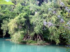 Arbol Micos (Rose CA) Tags: micos san luis potosí agua río paisaje árbol river tree méxic