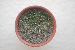 Cactus seedlings (cjbaker4) Tags: cactus plants seedlings superkabuto astrophytumasterias epithelanthamicromeris