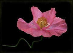 Dancing poppy. (Bessula) Tags: pink flower nature beauty garden ngc npc poppy mak sommar bessula magicunicornmasterpiece vallmofr