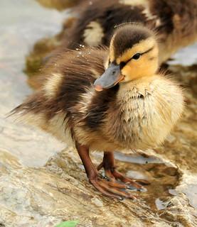 Mallard Ducklings 3