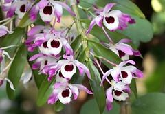 Dendrobium nobile (blumenbiene) Tags: flowers plant orchid flower garden botanical orchids pflanze leipzig dendrobium orchidee blüte garten blüten boga orchideen botanischer nobile orchideenblüten orchideenblüte