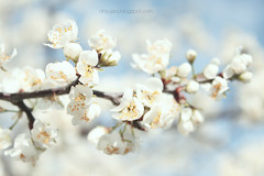 printemps #3 ([o] suze q) Tags: sky white canon spring branch blossom bokeh pastel bloom printemps paleblue 2014 bokehwednesday happybokehwednesday osuzeqphotography crpessuzetteandacamera