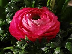 Ranunkel (Gartenzauber) Tags: perfectpetals unforgettableflowers itsallaboutflowers floralaromas bat´slair