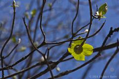 RB_Dogwood (rbeebephoto) Tags: trees april yosemitenationalpark dogwood springtime yosemitevalley pacificdogwood richarddbeebe2014 richardbeebe2014 copyrightrichardbeebe2014