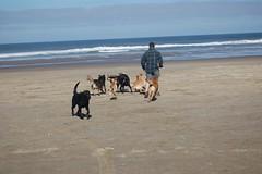 DOGS AUTZEN HONEY PORTER ZIPPER JULY (2) (coopersdogpatch) Tags: beach dogs tango cooper zipper sammy ours autzen