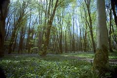 Bluebell wood~Explored#120 (Wendy:) Tags: 730nm killinthomas ir kildare bluebells wildgarlic hitechprostop6ir explored