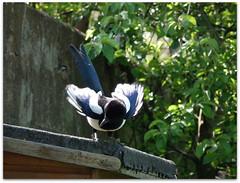 Magpie ignoring a nest full of noisy baby GTs! (macfudge1UK) Tags: uk england bird nature fauna garden spring europe britain gb perch corvid oxfordshire avian 2010 oxon perching britishbirds ©allrightsreserved britishbird hs10 countryfile fujifilmfinepixhs10