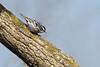 _53F7103 Black-and-white Warbler (~ Michaela Sagatova ~) Tags: blackandwhite warbler mniotiltavaria woodwarbler vermivorapinus dvca michaelafotheringham michaelasagatova
