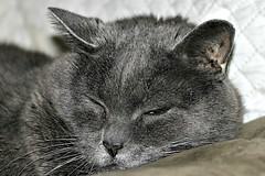 One Of Last Photos Of Grayson 012 (Chrisser) Tags: cats ontario canada nature animal animals cat russianblue lens00025 ourcatcompanions crazyaboutcats kissablekat kissablekats bestofcats kissablekitties kissablekitty canoneosrebelt1i canonefs60mmf28macrousmprimelens