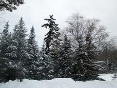 Snow Covered Pine Trees. (dccradio) Tags: trees winter snow ny newyork tree nature natural scenic adirondacks snowcovered duane malone adirondackstatepark