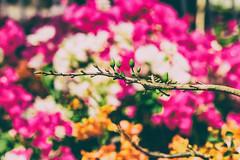 Spring bud (Black Baron93) Tags: new flower color closeup canon spring colorful blurred newyear vietnam mai tele tet lunarnewyear telelens ochna vietnameseculture blurredbackground tt integerrima canon55250 vietnamesetet ochnaintegerrima canon600d ttvit canonkissx5 newyear2015 newyearinsaigon newyearinvietnam vietanmtet