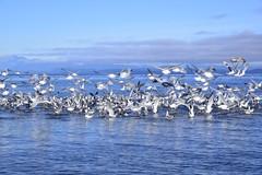 I want to fly like a seagull (shireye) Tags: sun seagulls beach reflections fly stones walk britishcolumbia takeoff straitofgeorgia blackcreek oysterriver saratogabeach iwanttoflylikeaseagull