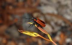 Rhynotia haemoptera (dustaway) Tags: nature australia queensland weevil coleoptera insecta canungra sequeensland curculionoidea belidae australianinsects redweevil rhynotiahaemoptera redwingedbeetle