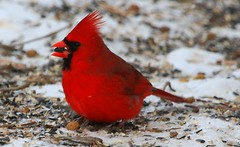 northern cardinal male at Lake Meyer Park IA 854A0747 (lreis_naturalist) Tags: county male cardinal reis iowa larry northern winneshiek
