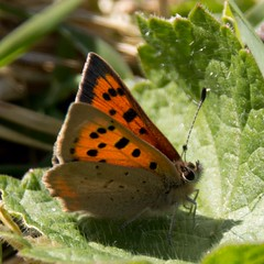 Small Copper (Tony Howsham) Tags: canon wildlife small sigma copper rspb 18250 rspbminsmere eos70d