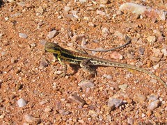 Central Military Dragon (Ctenophorus isolepis) (shaneblackfnq) Tags: dragon desert reptile nt military central australia outback northern arid territory barkly tableland isolepis shaneblack ctenophorus